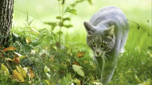 beautiful-cat-nature-hunter-grass-animals-large-on-the-394553